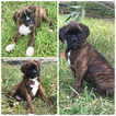 Boxer Puppy For Sale in PEARLAND, TX, USA