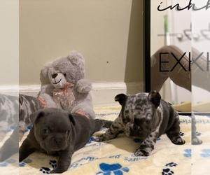 French Bulldog Puppy for sale in NORTHRIDGE, CA, USA