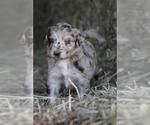 Puppy 1 Bordoodle