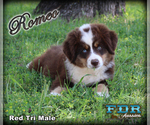 Romeo Mini Blue Eyed Red Tri Male Aussie