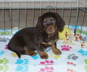 Dachshund Puppy for sale in ORO VALLEY, AZ, USA