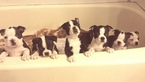 Boston Terrier Puppy For Sale in PENSACOLA, FL, USA