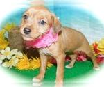 Small Bea-Tzu-Rat Terrier Mix