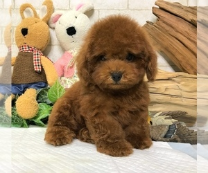 Poodle Toy Puppies For Sale Near Olympia Washington Usa