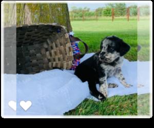 Labradoodle Puppy for Sale in CASSVILLE, Missouri USA
