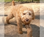 Small #3 Australian Labradoodle-Poodle (Standard) Mix