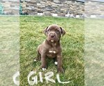 American Bully-Labrador Retriever Mix Puppy For Sale in BLAINE, WA, USA