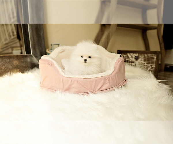Medium Photo #6 Poodle (Standard) Puppy For Sale in LAS VEGAS, NV, USA