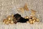 Yoranian Puppy For Sale in BONHAM, TX, USA