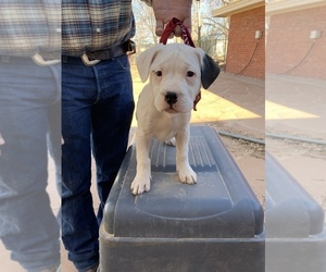 Dogo Argentino Puppy for sale in BORDER HILL, NM, USA