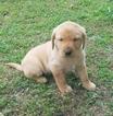 Labrador Retriever Puppy For Sale in DANVILLE, GA