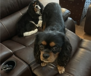 Father of the Cavalier King Charles Spaniel puppies born on 04/21/2019