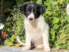 Border Collie Puppy For Sale in MOUNT JOY, PA,