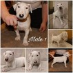 Bull Terrier Puppy For Sale in TAYLOR, MI,