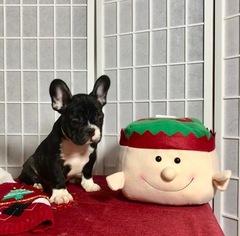 French Bulldog Puppy For Sale in CRANSTON, RI