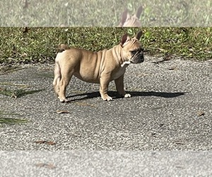 French Bulldog Dog for Adoption in JACKSONVILLE, Florida USA