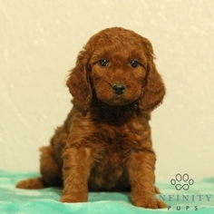 Irish Setter Poodle Mix For Goldenacresdogs