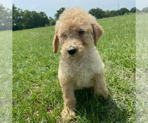 Goldendoodle-Poodle (Standard) Mix Puppy for sale in ITASCA, TX, USA