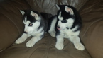 Siberian Husky Puppy For Sale in HENRICO, VA