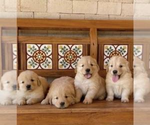 Golden Retriever Puppy for sale in ANAHEIM, CA, USA