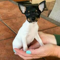 Fox Terrier (Toy) Puppy For Sale in SPRING VALLEY, CA, USA
