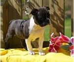 AKC Boston Terrier For Sale Warsaw OH Female Addi