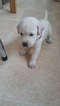 Labrador Retriever Puppy For Sale in WASHINGTON, UT