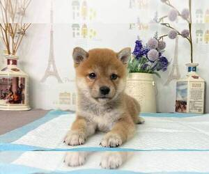 Shiba Inu Puppy for Sale in SAN FRANCISCO, California USA