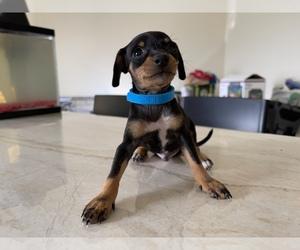 Miniature Pinscher Puppy for sale in SAN DIEGO, CA, USA