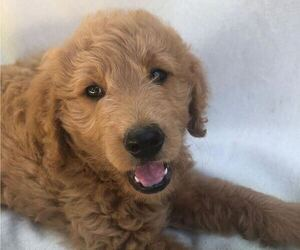Goldendoodle Puppy for sale in SOUTH PITTSBURG, TN, USA