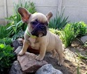 French Bulldog Puppy For Sale in WEST PALM BEACH, FL