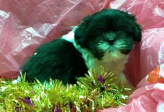 View Ad Shorkie Tzu Litter Of Puppies For Sale Near Maryland
