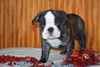 Boston Terrier-English Bulldog Mix Puppy For Sale in FREDERICKSBURG, OH, USA