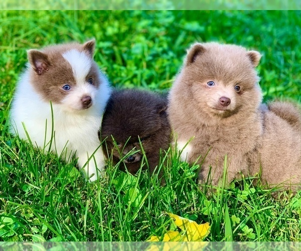 Medium Photo #4 Shih Tzu Puppy For Sale in BUFORD, GA, USA