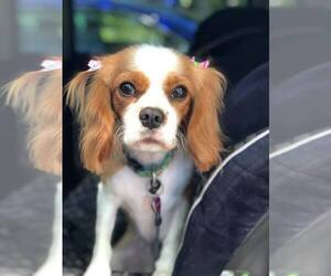 Cavalier King Charles Spaniel Puppy for sale in CLEARWATER, FL, USA