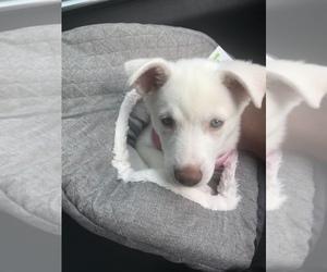 Siberian Husky Puppy for sale in STAFFORD, VA, USA