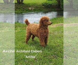 Father of the Labradoodle puppies born on 06/25/2021