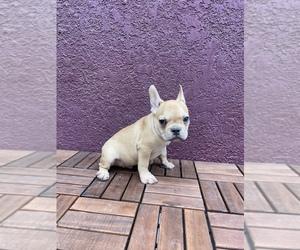 French Bulldog Puppy for Sale in AVONDALE, Arizona USA