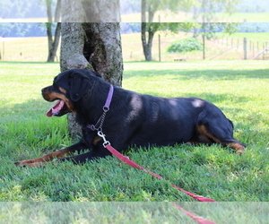 Rottweiler Puppy for sale in HOPKINSVILLE, KY, USA