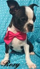 Boston Terrier Puppy For Sale in EAST EARL, PA