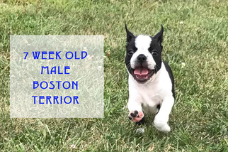 Boston Terrier Puppy For Sale in ALBANY, MO, USA
