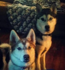 Father of the Siberian Husky puppies born on 12/28/2018