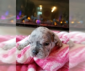 French Bulldog Puppy For Sale in GRAND JCT, CO, USA