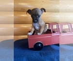 Jack Chi Puppy For Sale in PINE CITY, NY, USA