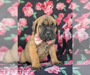 Cane Corso Puppy for sale in KIRKWOOD, PA, USA