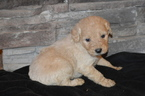 Goldendoodle Puppy For Sale in MARSHALL, AR