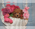 Small #14 Poodle (Toy)