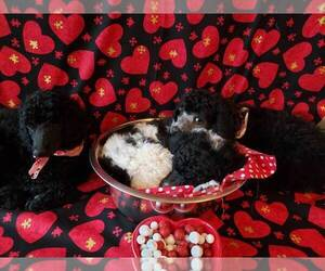 Poodle (Standard) Puppy for sale in EDGEWOOD, NM, USA