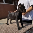 Cane Corso Puppy For Sale near 93257, Poplar, CA, USA