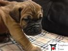 Tosa Puppy For Sale in AUBURN, WA